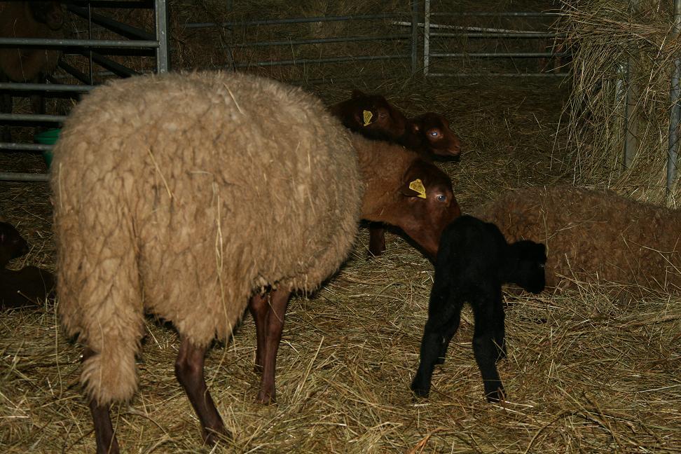 femelle mouton pleine