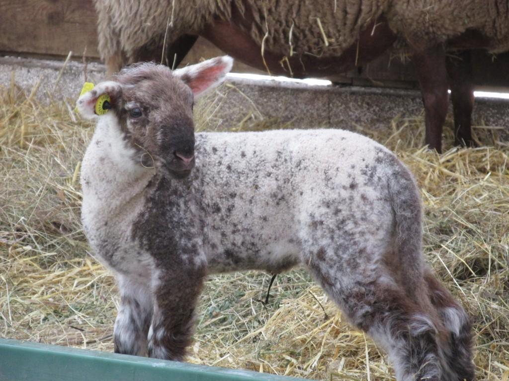 agneau vendéen