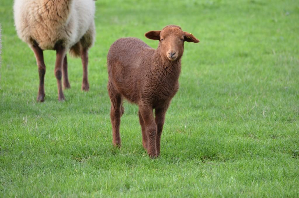 agneau solognot